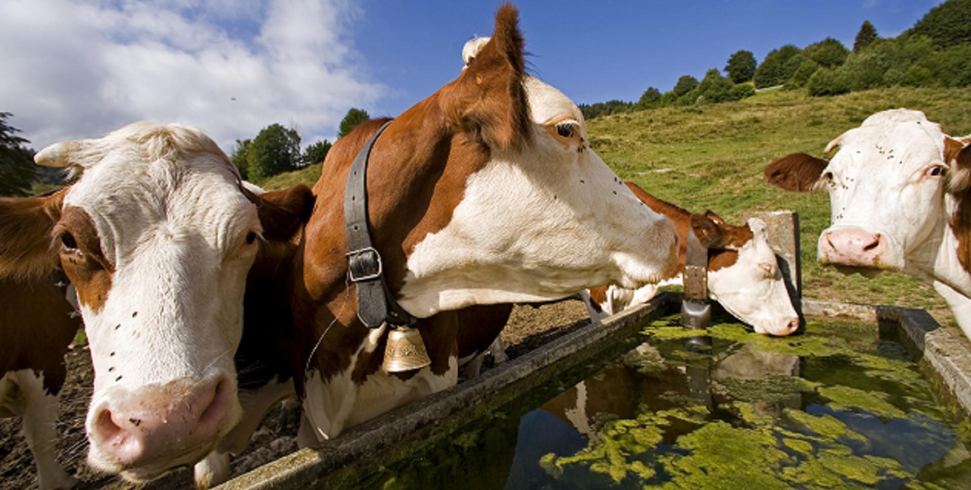 Les Vaches de la Ferme de La Cluse